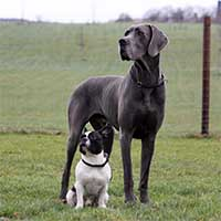 Duitse-dog-in-veld-met-honden-vriendje