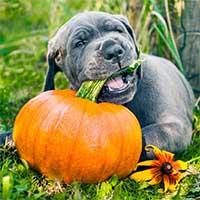 Duitse-dog-puppy-kauwt-op-een-pompoen