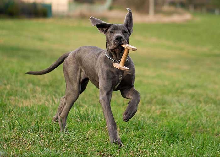 Spelende Duitse dog