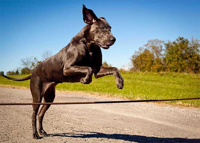 Uiterlijke kenmerken Duitse dog