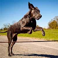Duitse-dog-springt-over-een-touw