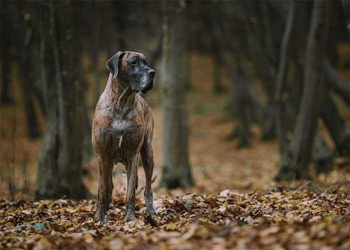 Duitse-dog-wandeld-door-het-bos