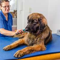 Wat kost een Leonberger puppy?