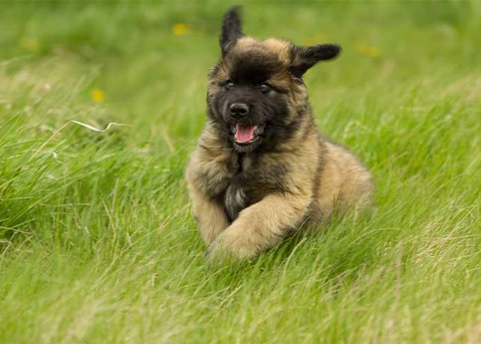 Leonberger puppy actief in de natuur