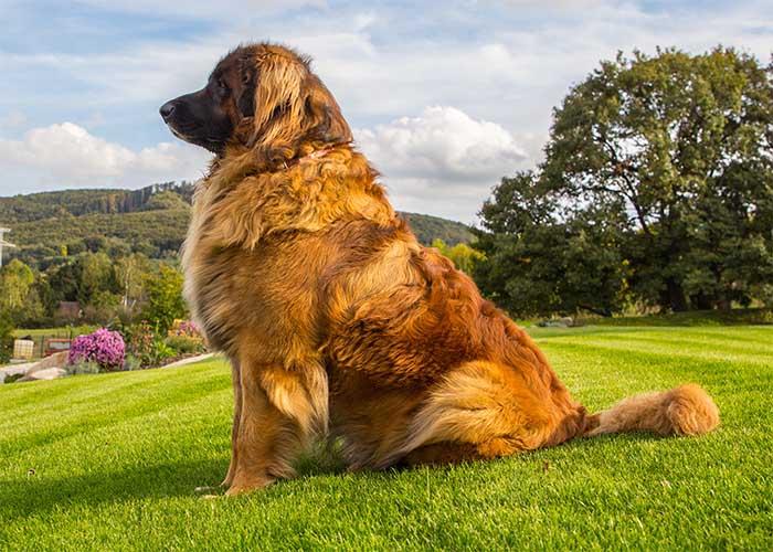 Verzorgde Leonberger staat op een heuvel