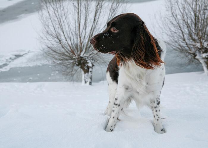 hondenras heidelwachtel