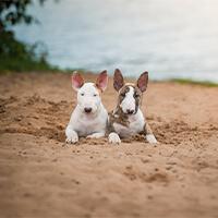 Wat kost een bull terriër puppy?