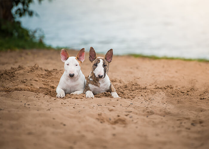 Wat kost een bull terriër puppy
