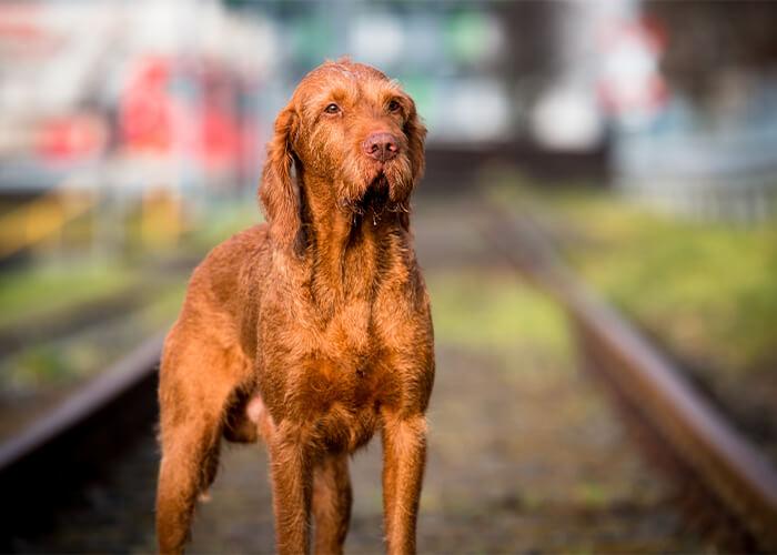 Bruine vizsla op het spoor