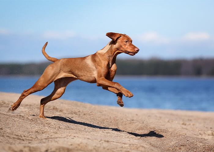 Bruine vizsla rennend over het strand