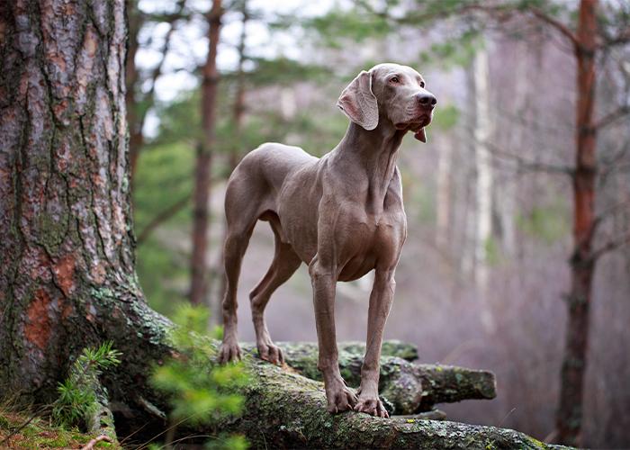 weimaraner balancerend op een boomstronk in het bos