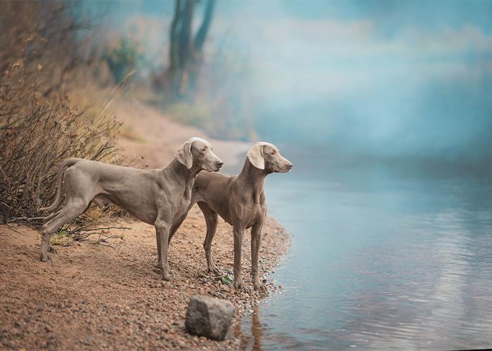 twee weimaraners langs de oever van een rivier