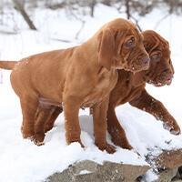 Twee vizsla pups in het sneeuw