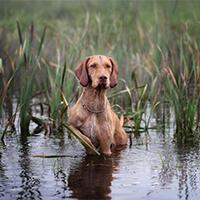 Vizsla hond in het water