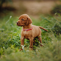 Vizsla pup op het gras