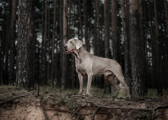 weimaraner in het bos kijkt voor zich uit