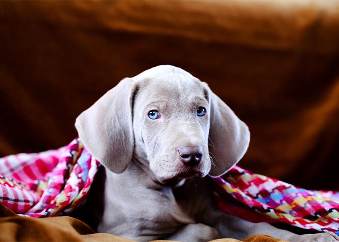 weimaraner puppy onder een roze deken