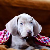 weimaraner onder een roze deken