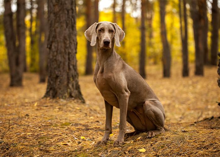 weimaraner hondenras