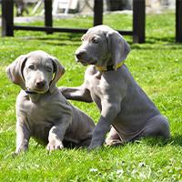 2 weimaraner pups spelend op het gras