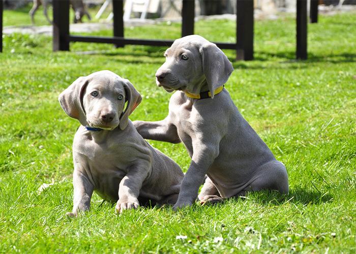 twee weimaraner pups zittend op het gras