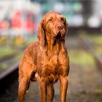 vizsla hond op het spoor