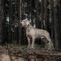 weimaraner in het bos