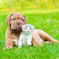 algemene informatie over de bordeaux dog