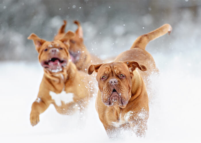 Rennende bordeaux dog