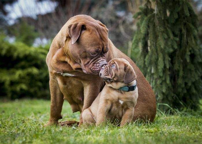 bordeaux dog volwassen hond en puppy hondenras