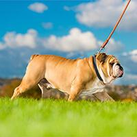 Wandelende engelse bulldog