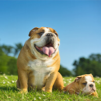 rasvereniging voor de engelse bulldog