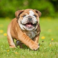 twee verschillende uiterlijken van de engelse bulldog