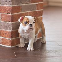 Wat kost een engelse bulldog puppy?
