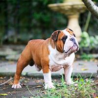 Actief karakter van een engelse bulldog