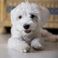 Wat kost een maltezer puppy?