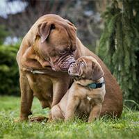 Het opvoeden van een bordeaux dog pup