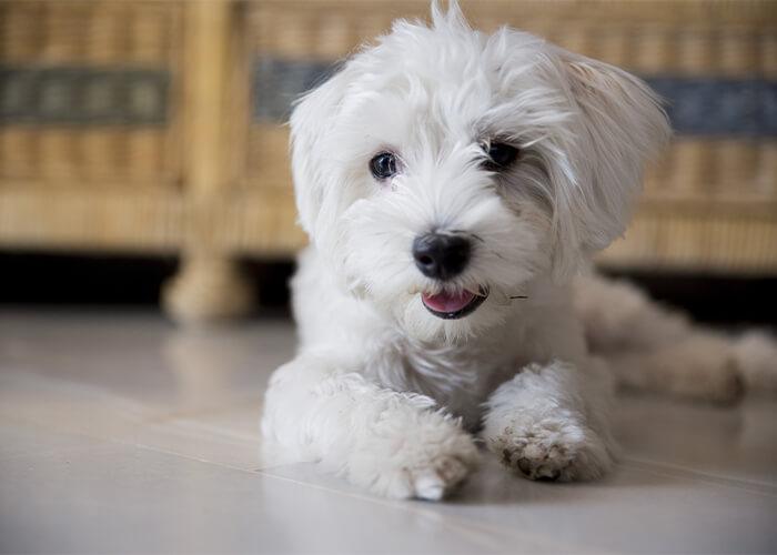 Wat kost een maltezer puppy