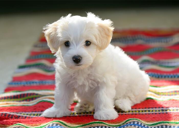 Het opvoeden van een maltezer pup