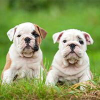 Het opvoeden van een engelse bulldog pup