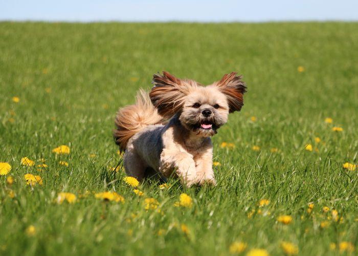 lhasa apso hondenras