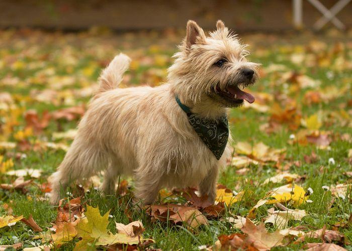 Wat kost een cairn terrier puppy