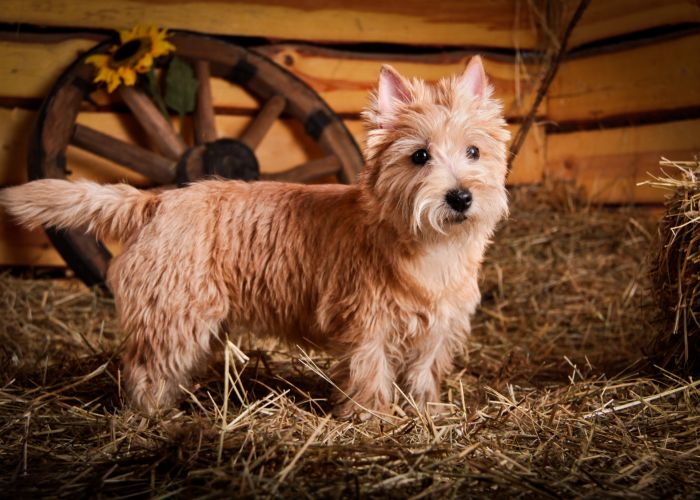 Actief karakter van de cairn terrier