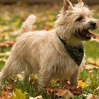 Wat kost een cairn terrier puppy?