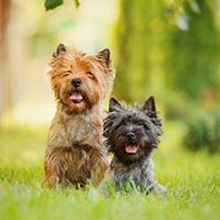 rasvereniging voor de cairn terrier