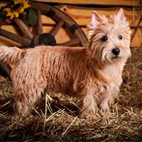 Actief karakter van een cairn terrier