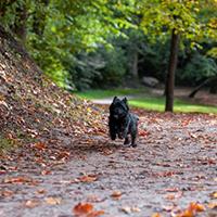 Rennende cairn terrier