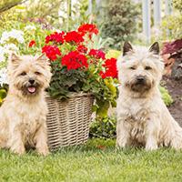 twee verschillende uiterlijken van de cairn terrier