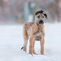Wat kost een Ierse wolfshond puppy?