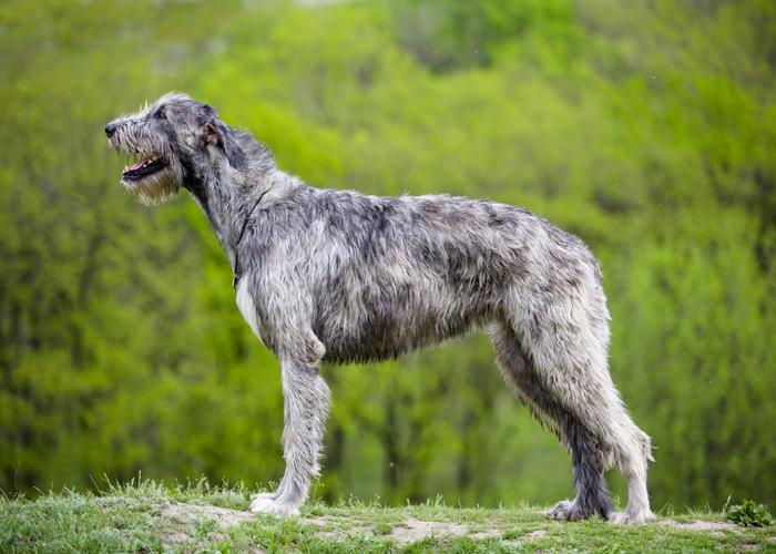 Twee verschillende uiterlijken van Ierse wolfshond